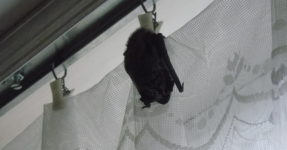 Nietoperz w mieszkaniu